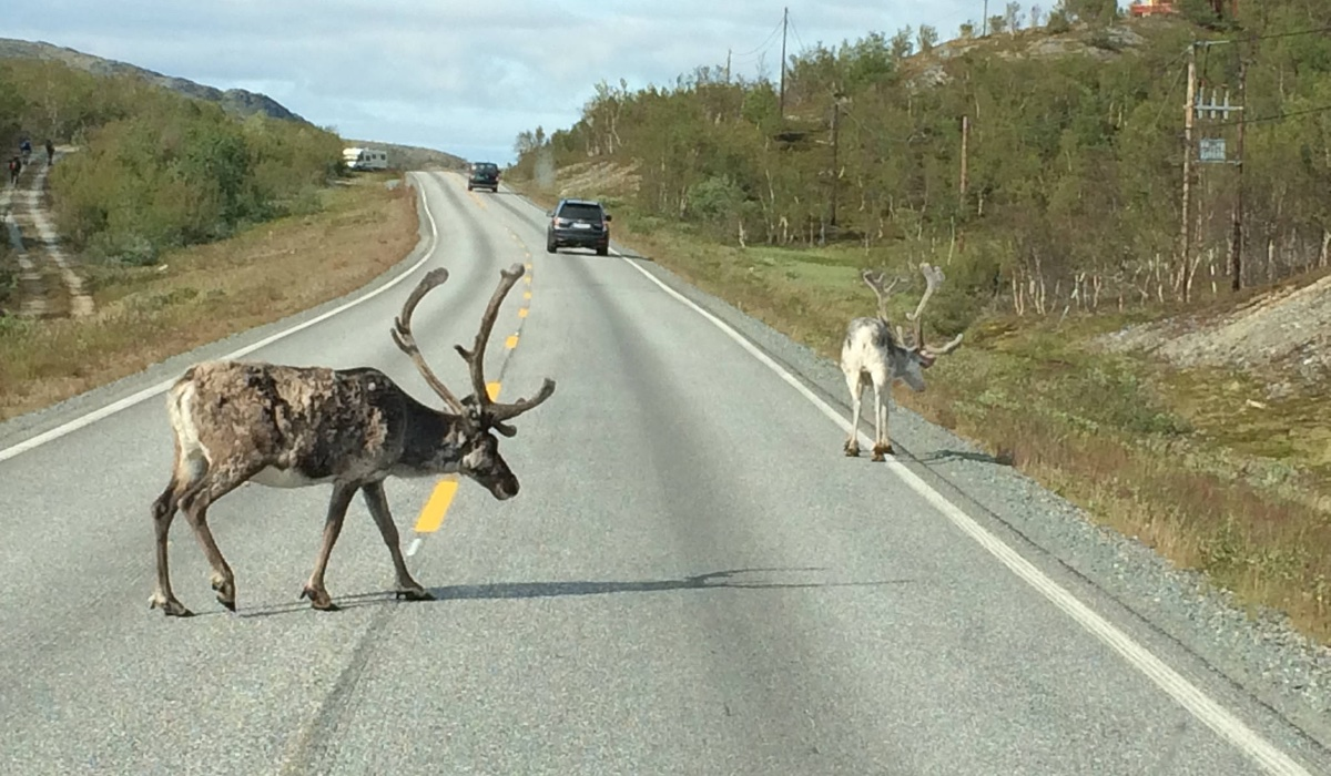 Moose on the road